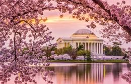 Hàng triệu người đổ về Washington D.C, Mỹ để ngắm hoa anh đào