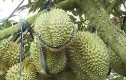 Tiền Giang: Người dân ồ ạt trồng sầu riêng