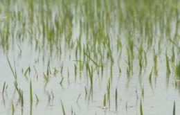An Giang huy động các trạm bơm cứu lúa