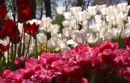 Rực rỡ sắc hoa tulip tại Thổ Nhĩ Kỳ