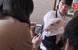 Độc đáo quán cà phê với những chú lợn con dễ thương