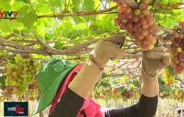 Lễ hội Nho và Vang Ninh Thuận - Cầu nối giữa người trồng nho với người tiêu dùng