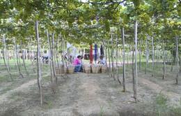 Về Ninh Thuận trải nghiệm thu hoạch nho cùng nông dân