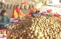 """Pepsi tranh chấp khoai tây """"có bản quyền"""" với nông dân Ấn Độ"""