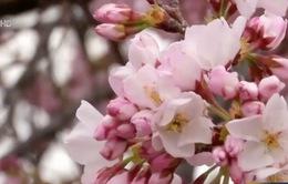 Rực rỡ mùa hoa anh đào tại Washington D.C (Mỹ)