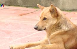 Vụ bé 7 tuổi tử vong vì bị đàn chó tấn công: Mối nguy hiểm của tập quán nuôi chó thả rông