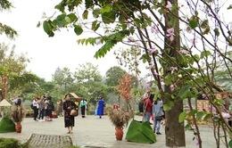 Chờ đón lễ hội hoa ban lần đầu tiên tại Hà Nội