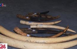 Nhiều người lầm tưởng về tác dụng của ngà voi và sừng tê giác