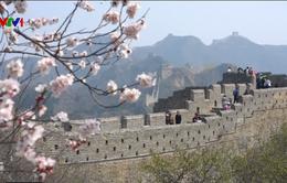 Hoa anh đào nở rộ ở Trung Quốc