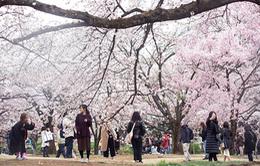 Nhật Bản thu 5,8 tỷ USD từ mùa hoa anh đào