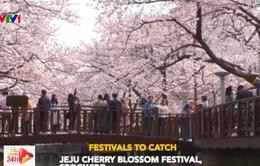 Những điểm ngắm hoa anh đào đầu mùa tại Hàn Quốc