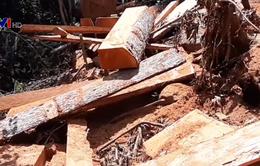 Hàng chục cây gỗ cổ thị ở rừng phòng hộ Đăk Mi bị đốn hạ