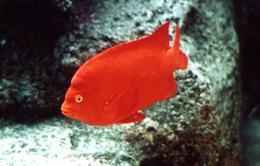 Phát hiện nhớt cá có thể diệt vi khuẩn kháng thuốc và tế bào ung thư