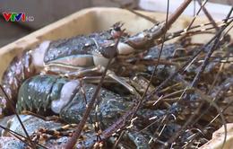 Tôm hùm chết hàng loạt ở vịnh Xuân Đài, Phú Yên