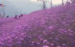 Đến Sapa, ngắm cánh đồng hoa tím đẹp... quên lối về