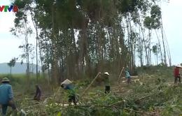 Đắc Lắc: Cây Keo được giá, người trồng rừng phấn khởi