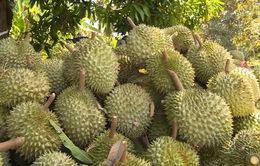 Trà Vinh: Trái cây đặc sản được mùa, được giá