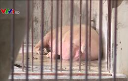 Lợn chết hàng loạt không rõ nguyên do ở nhiều địa phương