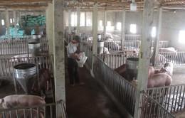 Giá lợn hơi tại miền Trung và miền Nam giảm mạnh