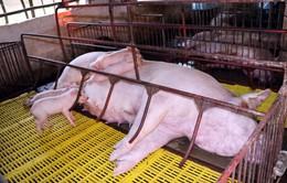 Dịch tả lợn châu Phi lan rộng tới 34 tỉnh, thành phố