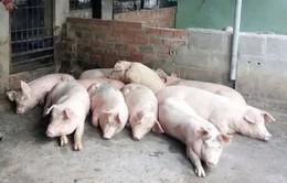Các tỉnh miền Trung khẩn trương chống dịch tả lợn châu Phi