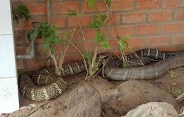 Bộ Nông nghiệp yêu cầu thả cặp rắn hổ mang về tự nhiên