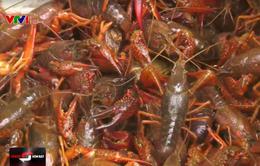 Nguy hiểm tôm hùm đất - Sinh vật ngoại lai tàn phá môi trường