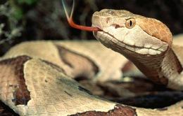 200 người thiệt mạng mỗi ngày do bị rắn độc cắn trên toàn thế giới