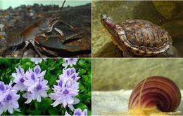 Những loài sinh vật ngoại lai xâm hại nguy hiểm tại Việt Nam