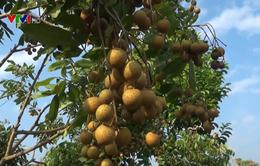 Hợp tác xã kiểu mới tạo đột phá cho phát triển cây ăn quả ở Sơn La