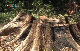 Rừng gỗ hương trước nguy cơ bị xóa sổ
