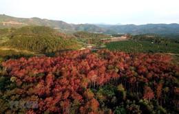 Lâm Đồng: Hàng ngàn cây thông rừng gần 20 năm tuổi bị hạ độc