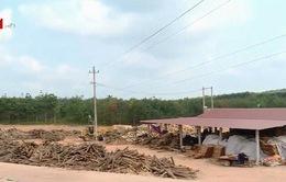 Quảng Trị: Nhiều nhà máy dăm gỗ hoạt động trái phép