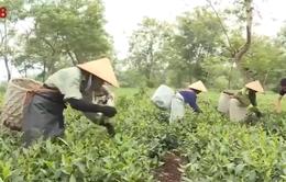 Hà Tĩnh trồng chè theo tiêu chuẩn VietGap