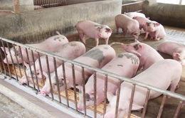 Giá thịt lợn hơi có xu hướng tăng