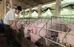 Giá lợn hơi tại miền Nam giảm