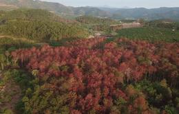 """Khởi tố vụ """"ám sát"""" hàng ngàn cây thông rừng 20 năm tuổi ở Lâm Đồng"""