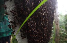 Ong mật rừng lao vào tấn công, nam thanh niên bị tổn thương gan, thận nặng