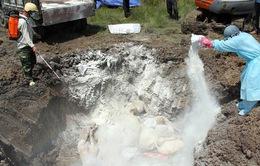 Hà Nội khó huy động lực lượng tiêu hủy lợn mắc dịch tả châu Phi