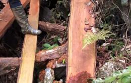 Bắc Kạn: Gần 50 cây gỗ nghiến quý hiếm bị chặt hạ