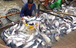 Giá cá tra giảm mạnh do thiếu đơn hàng xuất khẩu