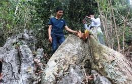 Điều tra vụ chặt phá 50 cây gỗ nghiến tại Bắc Kạn