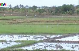 Nắng nóng kéo dài ở Quảng Ngãi, nguy cơ thiếu nước sản xuất vụ Hè Thu