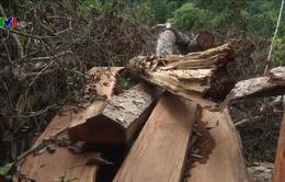 Cận cảnh hiện trường vụ chặt hạ gỗ nghiến tại Bắc Kạn
