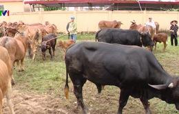 Phát triển đàn đại gia súc thay thế nguồn cung thịt lợn