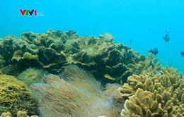 Phục hồi rạn san hô tại Cù Lao Chàm