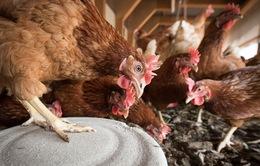 Nhật Bản xem xét dỡ bỏ lệnh cấm nhập khẩu thịt gà từ Nga