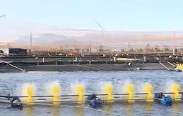 Nhiều vụ tôm chết do ô nhiễm môi trường nước