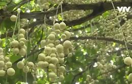 Cần Thơ: Đặc sản dâu Hạ Châu vào mùa thu hoạch