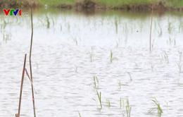 Nông dân Cà Mau gặp khó trong vụ lúa Hè Thu do thời tiết bất lợi